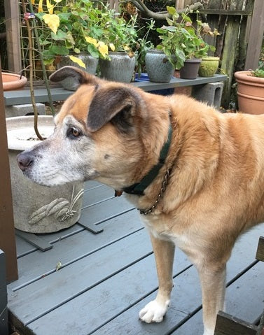 A mix-breed dog with light brown and white fur needing to wait on the patio to be let back inside the house since the patio door does not have a pet door installed.