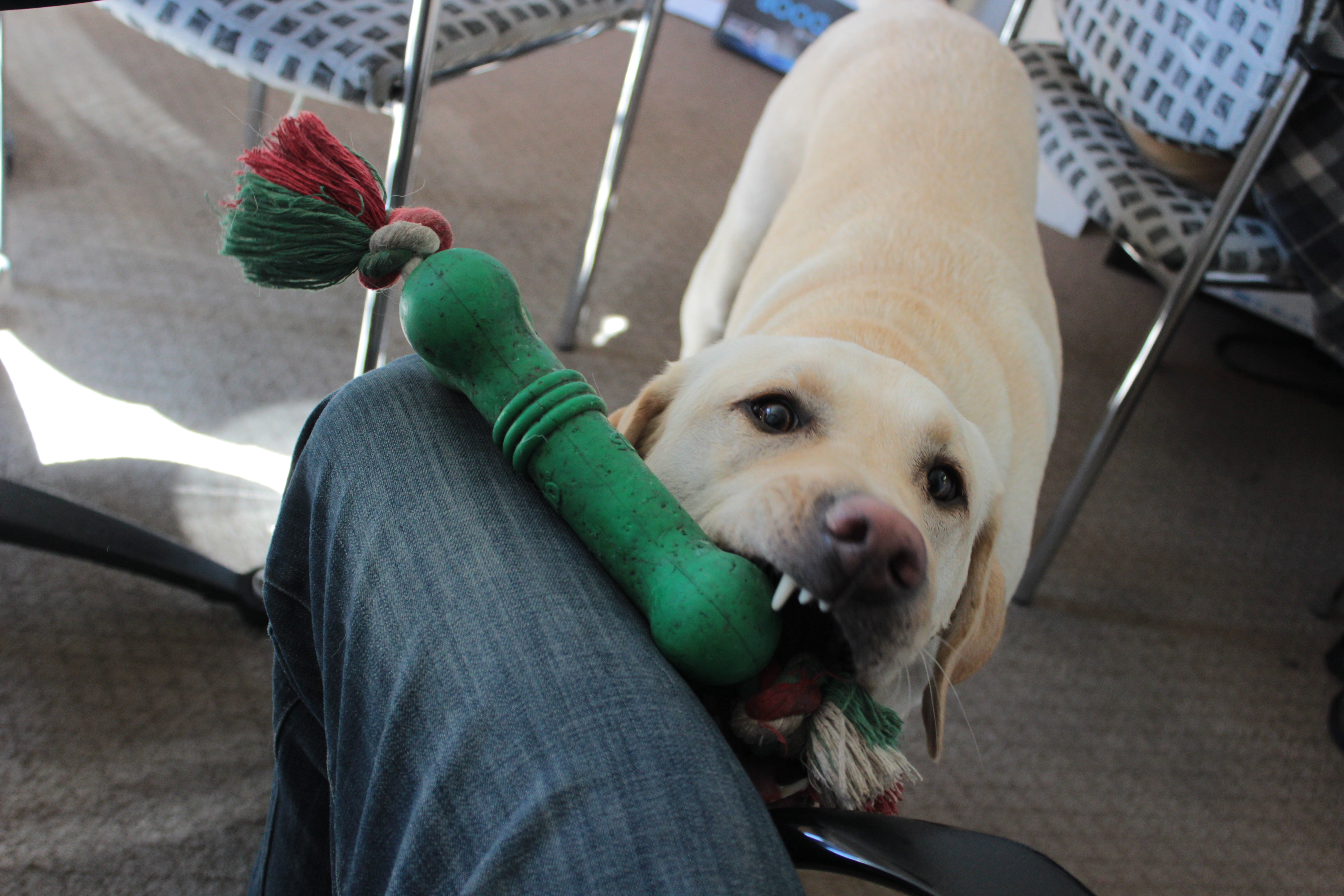 dog chewing on dog toy