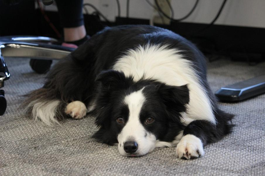 Border Collie lying down looking at camera