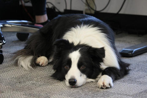 mikey the border collie lying down