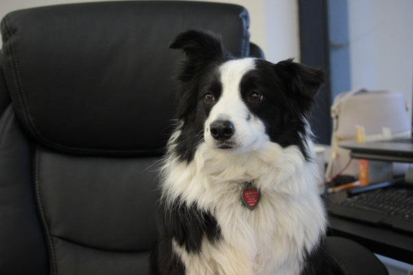 collie waiting to get their lease and harness for a road trip