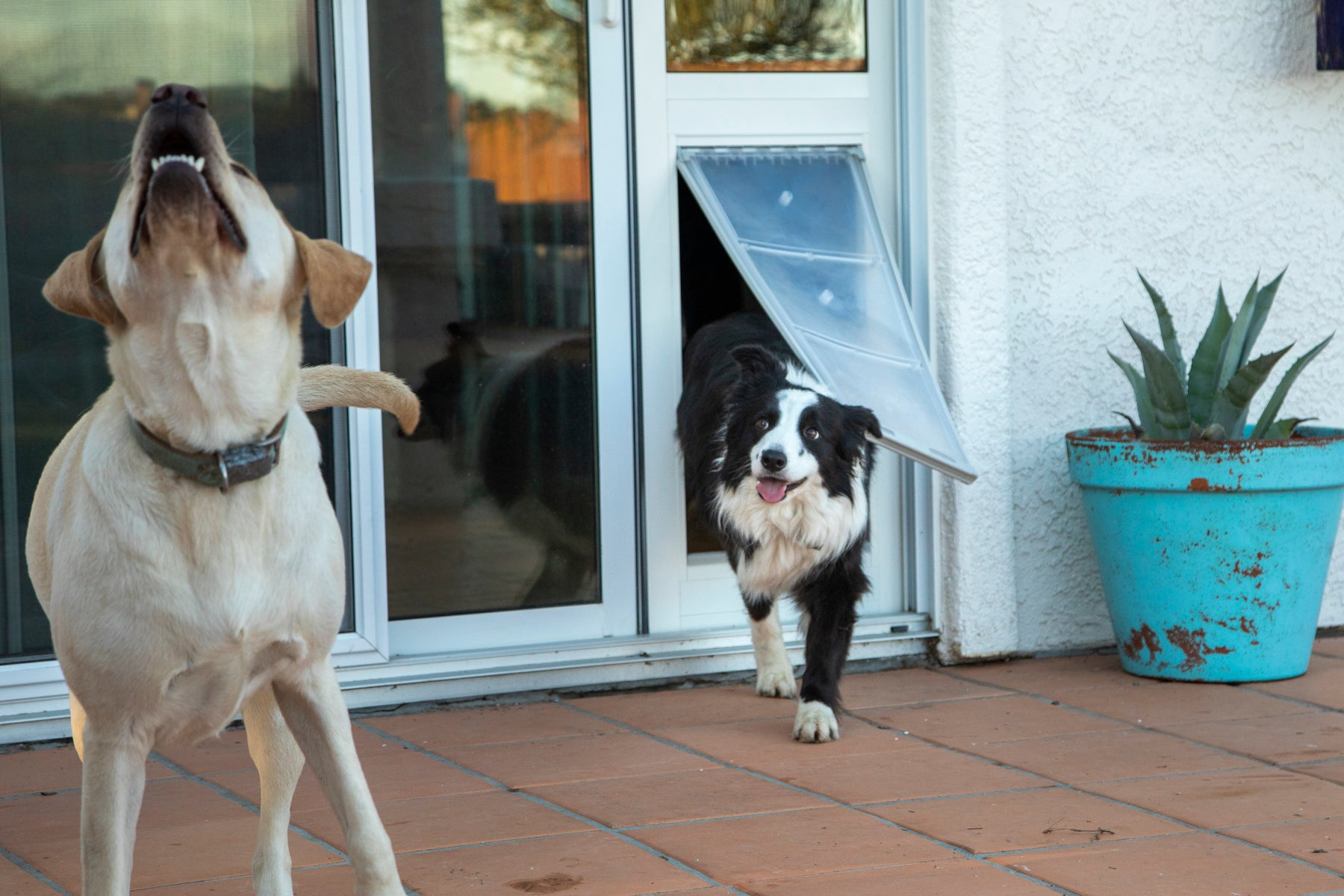 border collie and lab running out of pet door