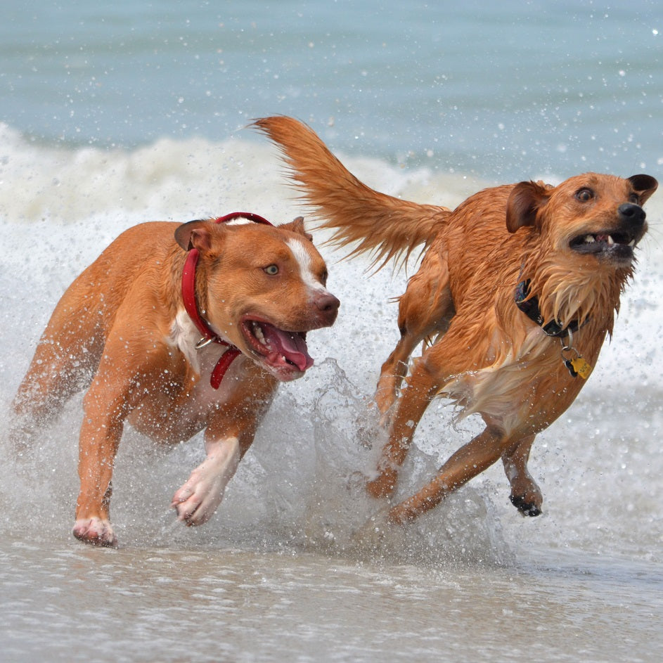 Two dogs enjoying a family vacation on the beach