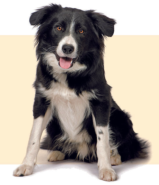Border Collie looking at camera