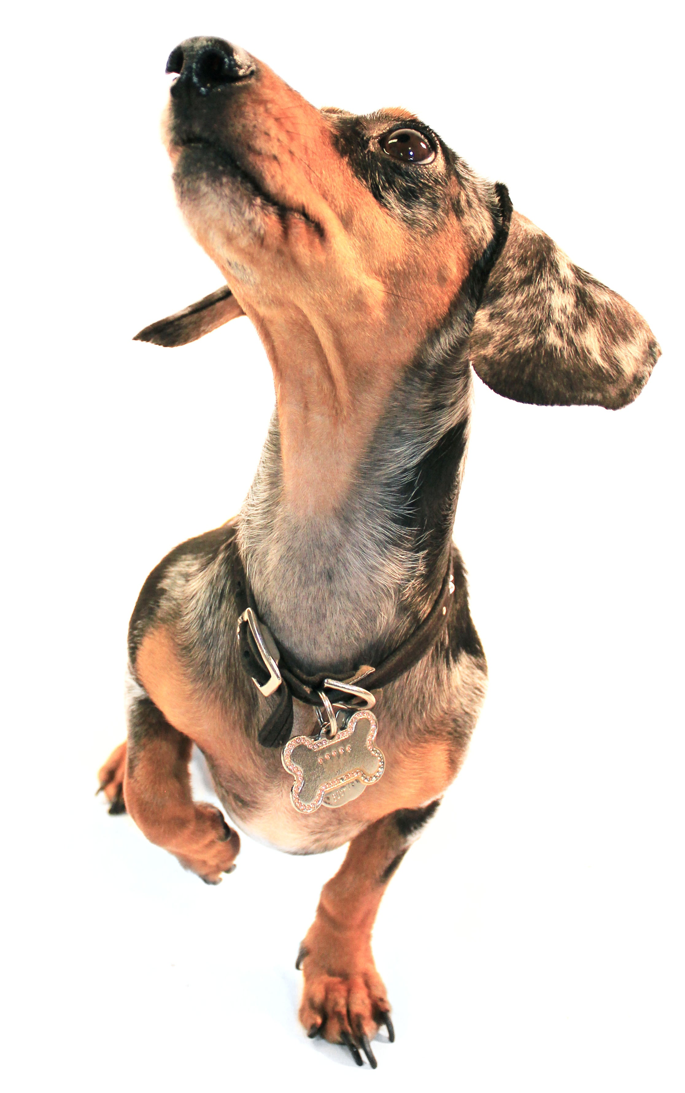 A small dachshund with spotted brown fur lifting a paw up into the air as he gets ready to play.