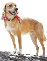 mixed breed dog with bandana standing on rock