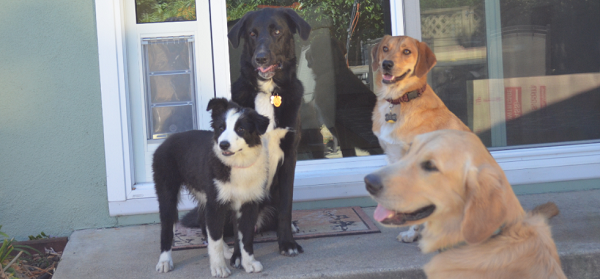A group of dogs gathered around a clear pet door flap-- what is the best pet door for your pet?