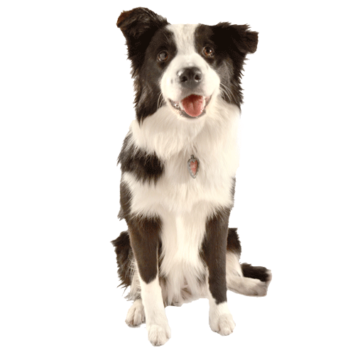 A black and white border collie who can use window pet doors if they're the right size