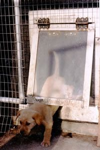 puppy using the clear dog door with hard flap which helps them push easier