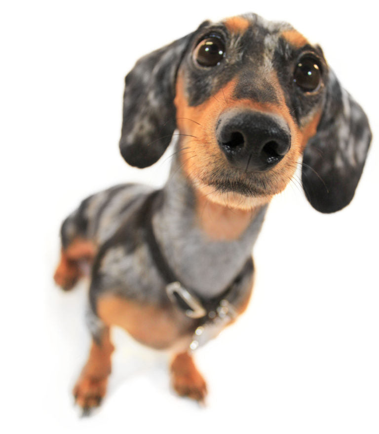 A Weiner dog with brown and black fur looking at the camera