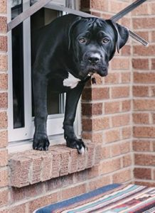 Juvenile young black lab and bull mastiff poking his head out of the Endura Flap Thermo Sash window dog door for window