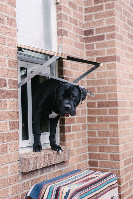 black pitbull mix using an endura flap thermo sash 3e window pet door for window installation