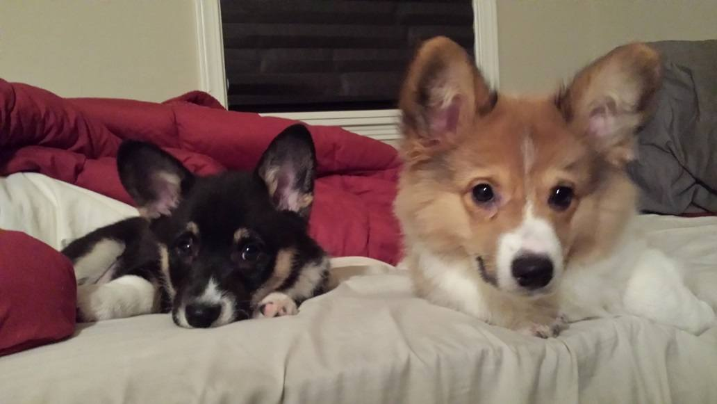 The corgi pups perfected the sad eyes and it's working!