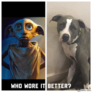 A side by side picture of Dobby from Harry Potter and a pitbull with similiar floppy ears labeled 'Who wore it better?'
