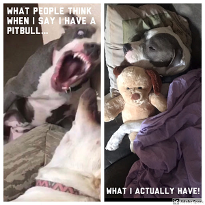 A vicious pitbull followed by the same pitbull sleeping with a teddy bear. White text reads 'what people think when I say I have a pitbull... what I actually have!'