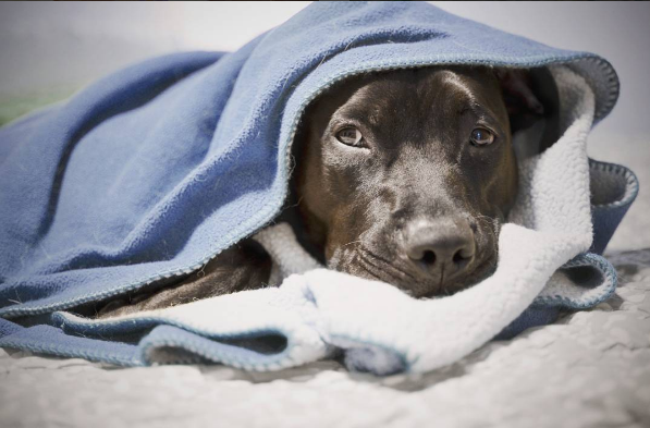 dog in a blanket - dog sleeping positions meaning