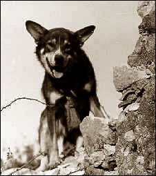 Beloved WWII dog Chips - military working dogs