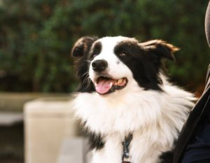 mikey the border collie for ISTJ