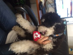 puppy in cute dog costumes biting at beanie baby tag