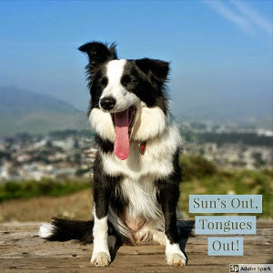 A Border Collie sitting outside and yawning so that its tongue looks huge. Text reads: 'Sun's Out, Tongues Out!'