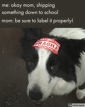 A border collie with a 'fragile' shipping sticker on its head. The text above: 'me: okay mom, shipping something down to school. mom: be sure to label it properly.'
