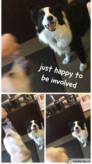 A black and white dog looking happy at the camera while saying 'just happy to be involved' while a different dog in motion blur plays intensely with a toy.