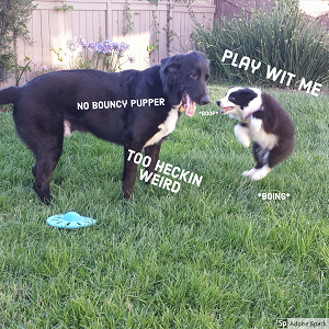 A small dog 'boinging' into the air demanding 'play wit me.' An older dog says 'no bouncy pupper' and 'too heckin weird.'
