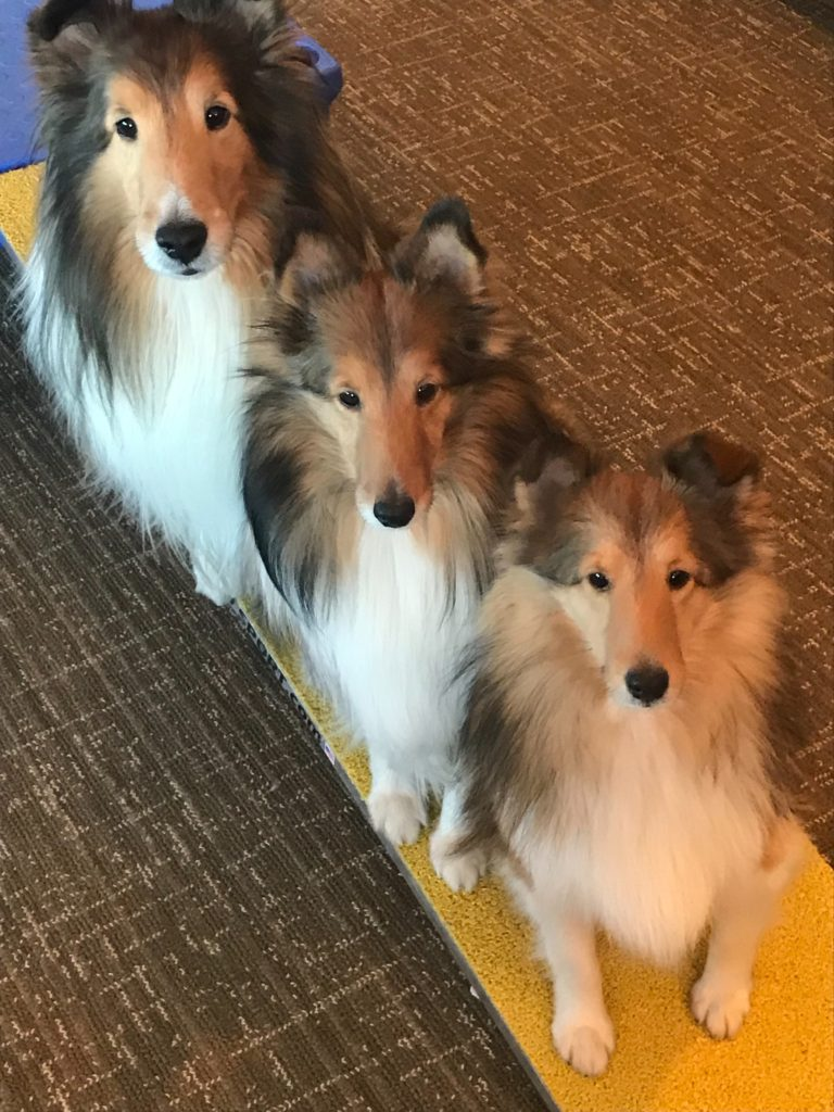 Three shelty dogs sitting to pose for the camera