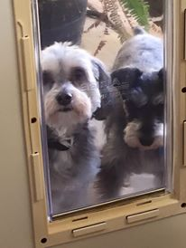 Installing a dog door for a Schnauzer mix mutt waiting with his pure bred schnauzer to come in the Ideal Original back door for doggie door