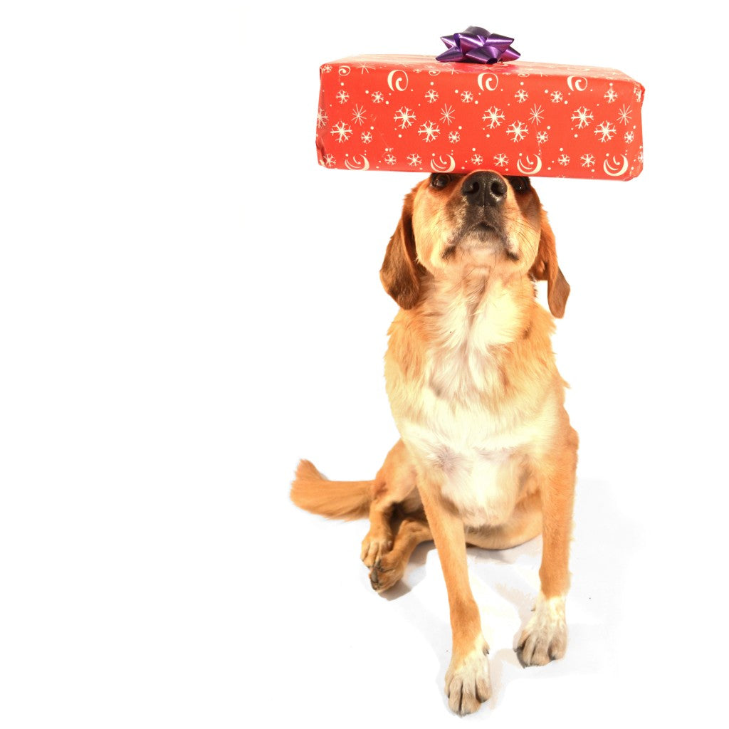 A mix-breed dog with yellow fur balancing a wrapped present with a bow on his head.