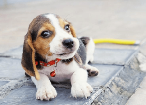 happy beagle reading about amazing dogs in pet news about cute dog stories