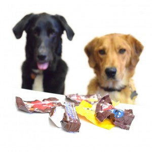 two dogs wonder: why are dogs allergic to chocolate - dogs and chocolate don't mix