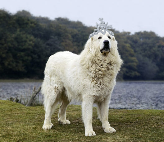 Game of Thrones dog names; Cersei as a Great Pyrenees