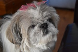 Columbus is a shih tzus, one of the laziest dog breeds - why are shih tzus so dumb?