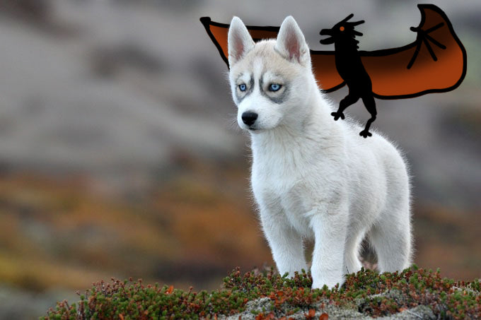 Husky puppy; Direwolf (northern intuit dog) look-alike and Daenerys Targaryen look-alike