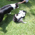 border collie pictures - how to train a border collie to use pet door