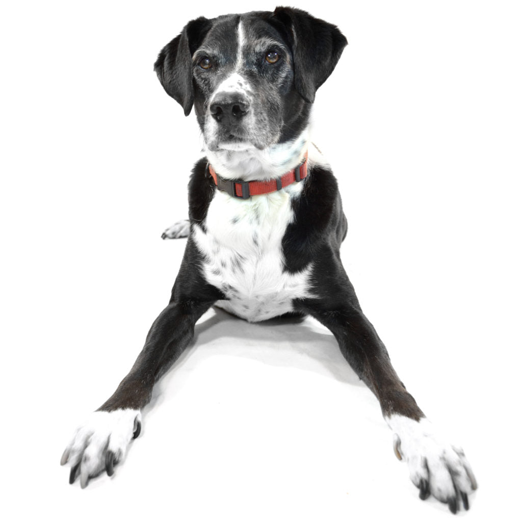 A large black and white dog in a red collar sitting against a white background and staring at the camera