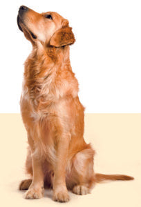 golden retriever learning interesting facts about dog behavior
