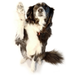Border Collie raising paw: We'll see you soon!