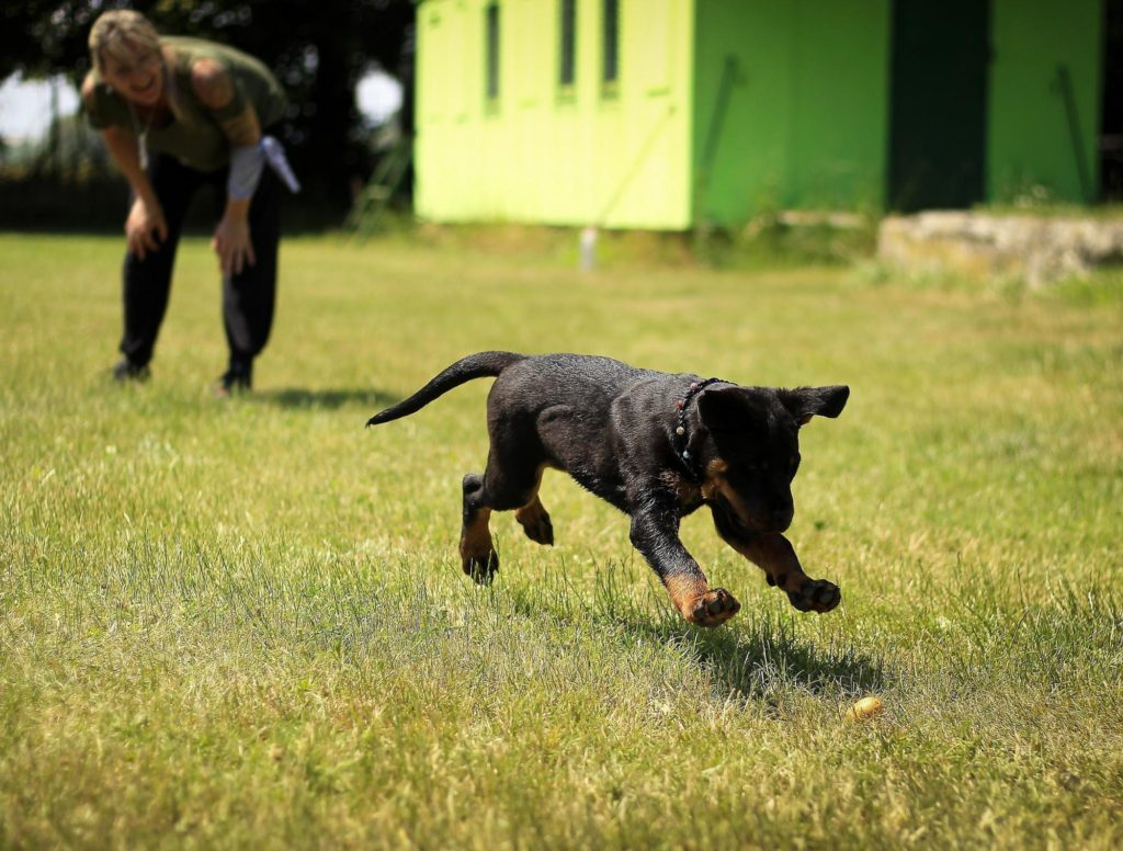 A black dog chasing a thrown ball across a grass field while it's owner shouts in the background