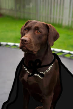 Brown lab wearing a cape: Jon Snow dog