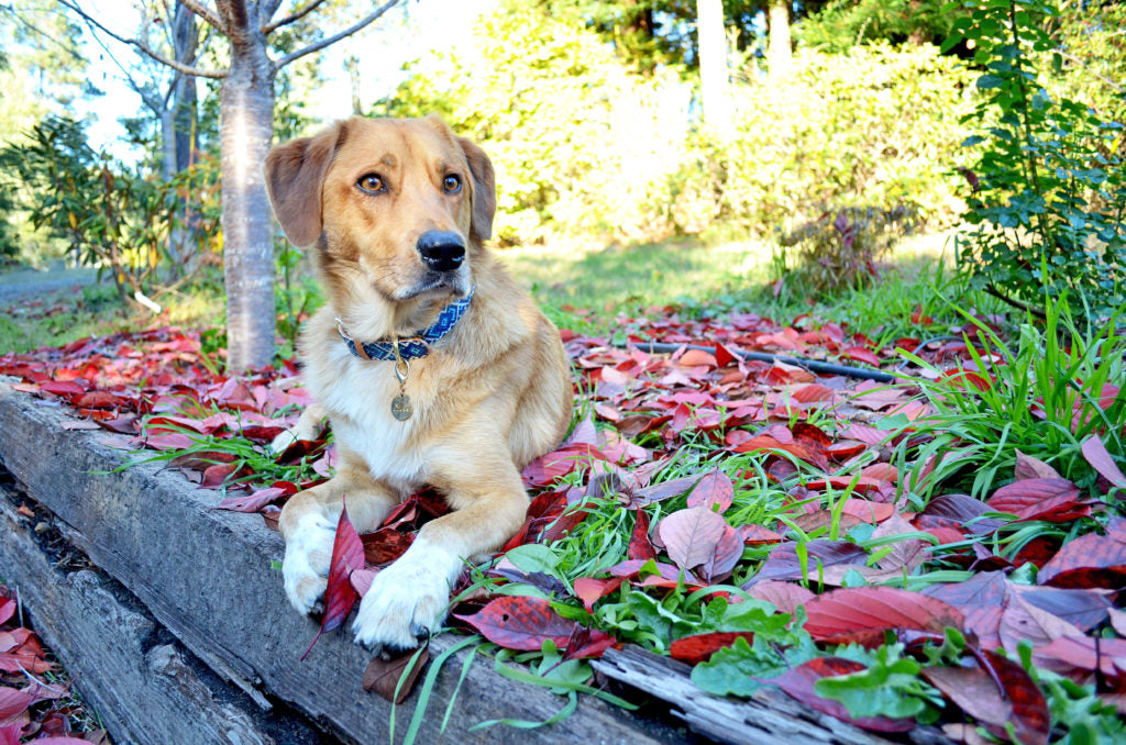 A large mix-breed dog lounging outside in a pile of leaves after being able to go outside without disturbing his owner through a custom pet door.