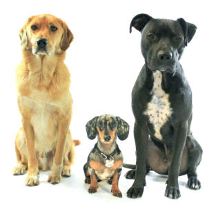 A golden retriever, a small daschund, and a black mutt sitting in front of a white background while waiting for their owners.