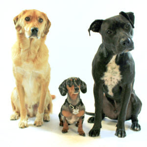 Three dogs with tilted heads. On 4th of July dogs can get a little nervous!