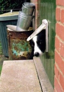 Mikey the Border Collie looking through dog door to see if it is safe for dogs outside.