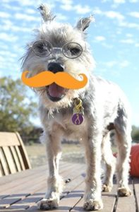 dog with mustache to raise awareness dog mouth cancer or skin cancer in dogs
