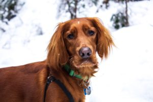 Irish setter, one of the most popular dog breeds from Ireland