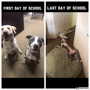 Two dogs looking excited for the first day of school, only to be passed out on the floor on the last day of school.