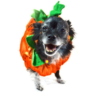 small dog in pumpkin dog halloween costumes - funny dog costumes