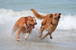two dogs in water - teach dog to enter water - best swimming dogs